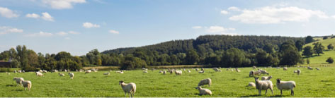 Sheep in countryside image